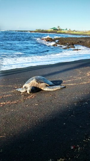 Hawaii sea turtle at black sand beach