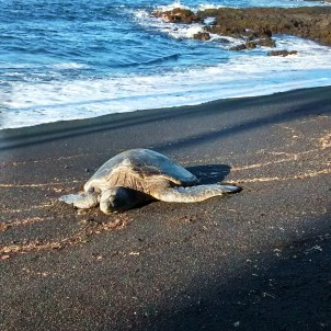 Hawaii sea turtle at black sand beach